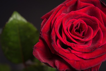one beautiful rose