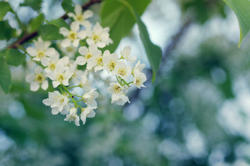 Spring flowers of bird cherry for background. Spring flowers of bird cherry in sun rays/ toned picture