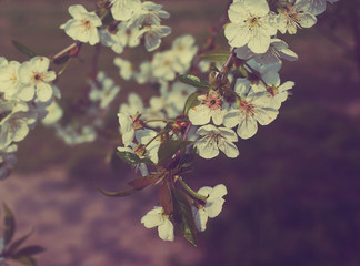 Spring plum flowers for background. Spring plum flowers in sun rays/ toned picture