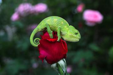 romantik bukalemun