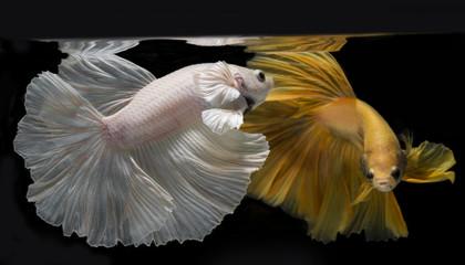Betta fish, siamese fish on Black background