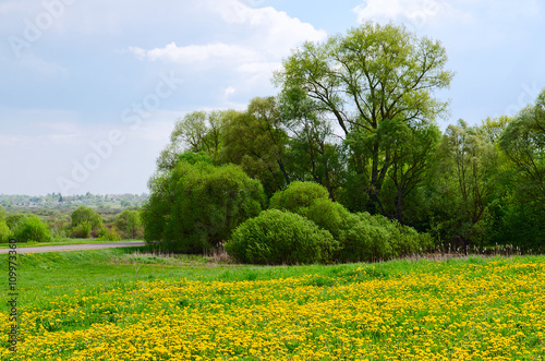 May landscape with blossoming dandelions