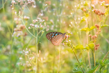 Blue butterfly with sunlight morning