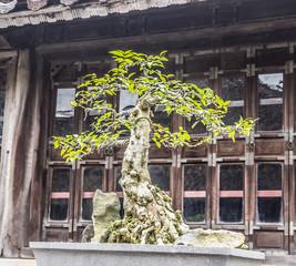 bonsai at Tu Duc tomb