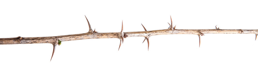 dry gooseberry branch with thorns isolated on white background