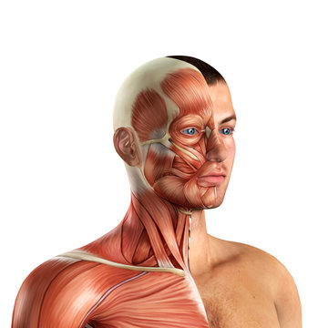Male Face Muscles Anatomy