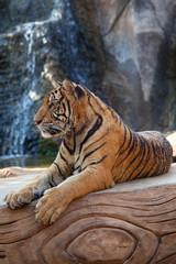 Wild tiger, Thailand.