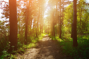 Forest sunny landscape - trees row and pathway lit by bright sunlight.