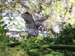 A Great Grey Owl in flight