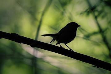 Silhouette d'un oiseau à contre-jour: Rouge gorge - Erithacus rubecula