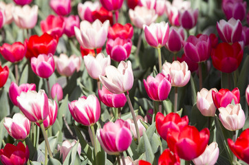 bed of tulips growing in spring garden tulips