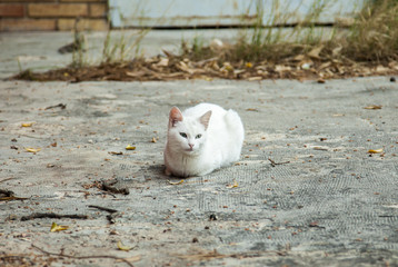 Portrait of a pretty white cat resting in the floor