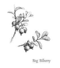 Hand Drawn  Twigs of Bog Bilberry