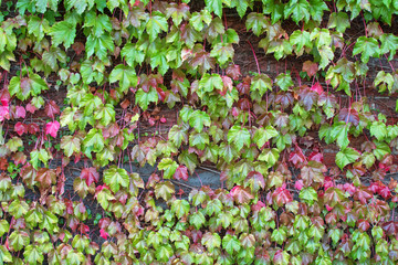 Climbing plant, Ivy leaves on the brick wall turning from green to Autumn red shade