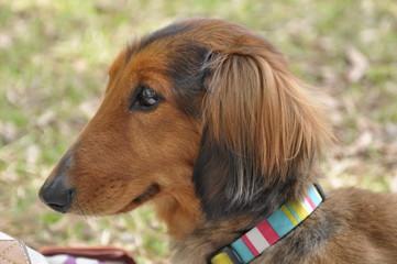 ミニチュアダックス 横顔 犬