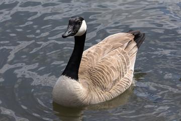 Canada Goose Full Body Portrait