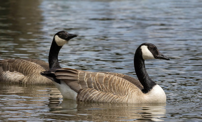 Canada Geese Pair Swimming in Lake