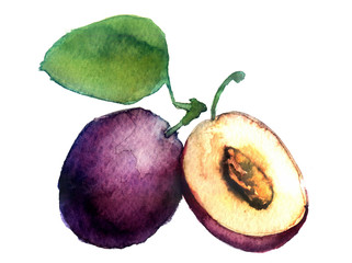 watercolor plum on a white background