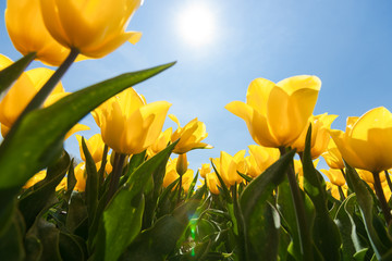 Foto auf Gartenposter Tulpen Field with yellow tulips and bright sunny atmosphere