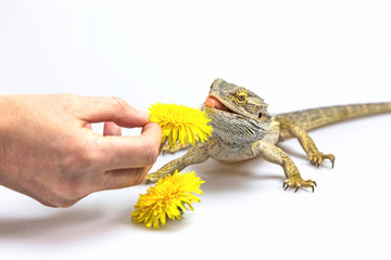 Agama lizard is feeding by a yellow flower dandelions. Agama fires tongue toward a dandelion.. Everything is on a light background.