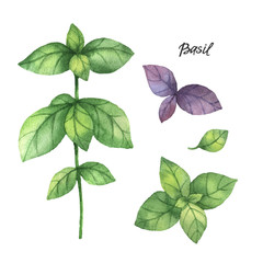 Watercolor branches and leaves of basil.