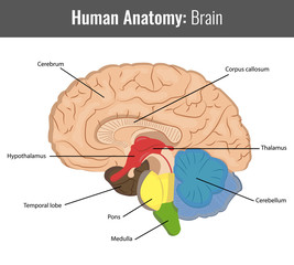 Human Brain detailed anatomy. Vector Medical