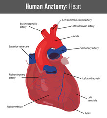Human Heart detailed anatomy. Vector Medical