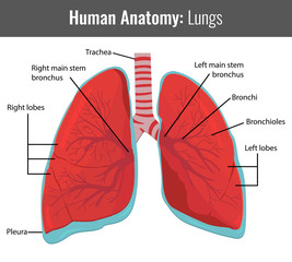 Human Lungs detailed anatomy. Vector Medical