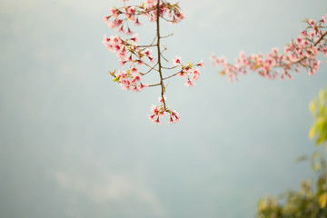 Wild himalayan cherry on tree in Chiang Mai province, Thailand.