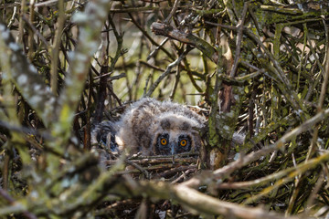Crías de Búho Chico en el nido. Asio otus.