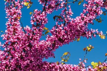 Ramas en flor del Árbol del Amor. Cercis silicastrum.