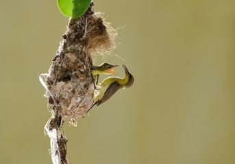 Sun-Bird Feeding new born chicks