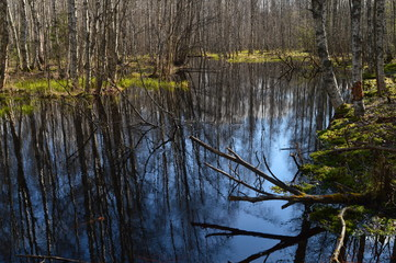 Forest river in spring flood in the birch forest