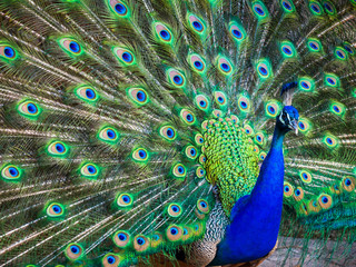 A beautiful male peacock with expanded feathers Wall mural