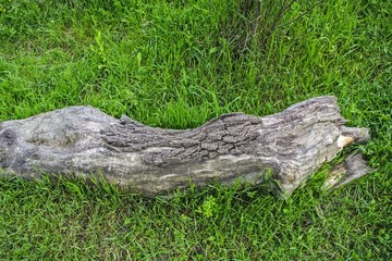 Old tree stump