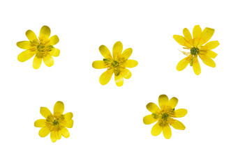 Set of pressed and dried yellow flowers ficaria verna