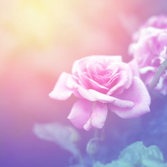 Floral background with pink rose.