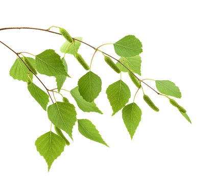 Birch leaves of the tree isolated on the white background