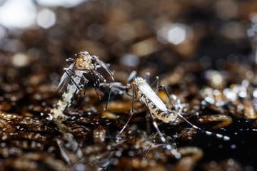 Newborn aedes albopictus mosquito