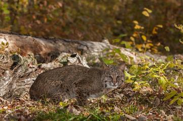 Spoed Foto op Canvas Lynx Bobcat (Lynx rufus) Crouches Near Log