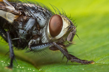 Diptera Brachycera House Fly