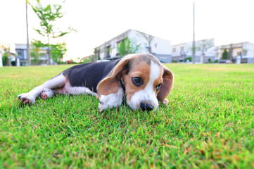 Beagle puppy lying on the outdoor lawn.