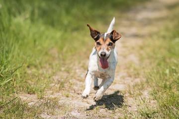 Glatt haariger Jack Russell Terrier rennt auf einem Feldweg - Action pur mit Hund