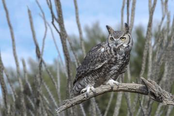 Great Horned Owl in Ocotillo