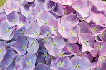 Close up beautiful hydrangea flower
