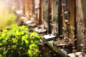 Fotorolgordijn Bee Hives in an apiary with bees flying to the landing boards in a g