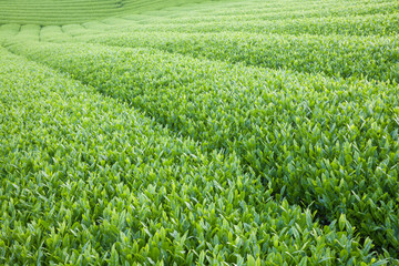 Close - up Japan green tea farm in spring season