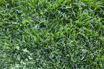 texture of the lawn grass, top view