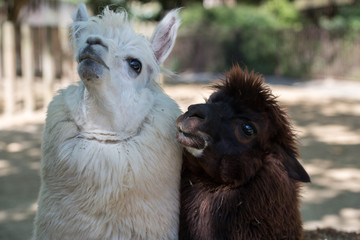 alpaca portrait while looking at you
