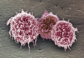 White blood cells, SEM